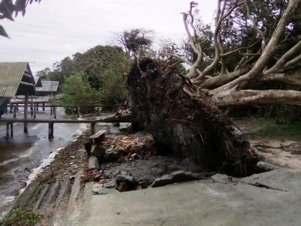 Árvore arrancada na localidade de Ponta do Piteira, no bairro Roça Grande, em Imbituba (Foto: Defesa Civil de Imbituba)