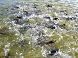 Período do defeso inicia no dia 15 de novembro e até o dia 31 de março a pesca dos peixes pirarucu e tambauqi estão proibidas em Rondônia (Foto: Assessoria/Divulgação)