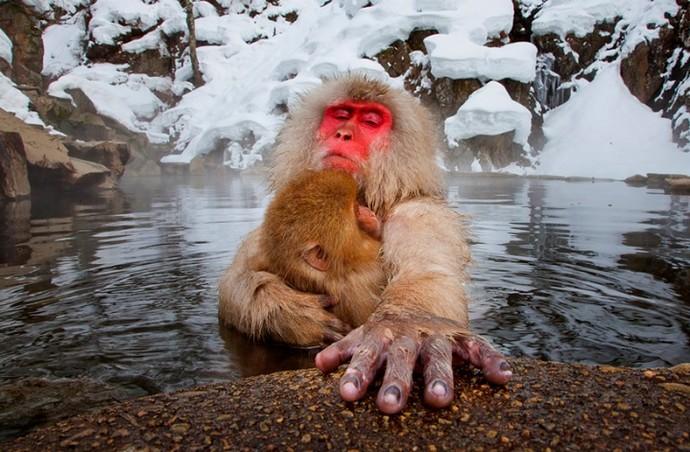 Macaco da neve, no Japão (Foto: João Paulo Krajewski)