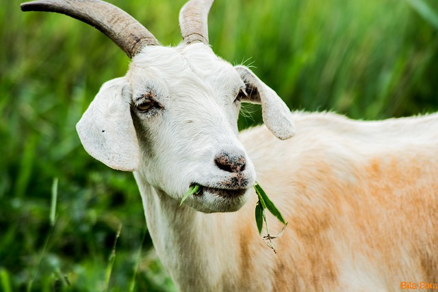 Pobres cabras... (Foto: Bila Silva / Creative Commons)
