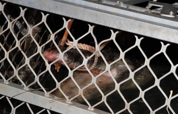 Crocodilo foi capturado em armadilha em Mandorah, na península de Cox (Foto: Reprodução/Facebook/Northern Territory Parks and Wildlife)