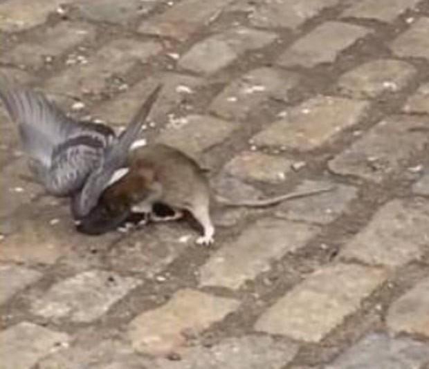 Rato e pombo foram flagrados brigando em rua de Nova York (Foto: Reprodução/YouTube/John Freund)