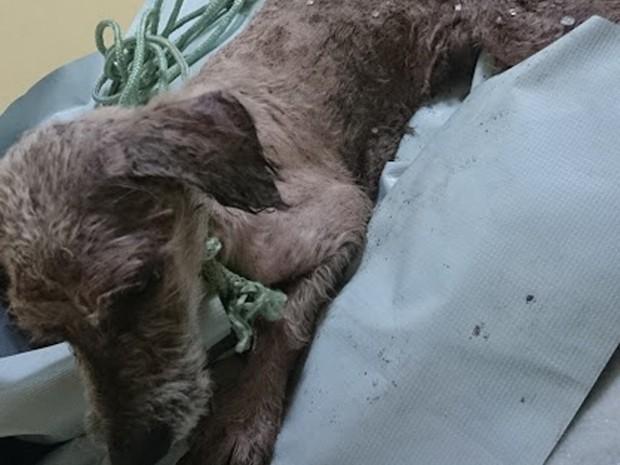 Cãozinho estava bastante debilitado e foi levado para uma clínica veterinária (Foto: Arquivo Pessoal/Jéssica Almeida)