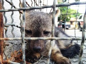 Filhote de raposa foi capturada em aeroporto na Grande João Pessoa (Foto: Walter Paparazzo/G1)