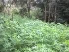 Polícia flagra plantação com mais de mil pés de maconha no interior de SP