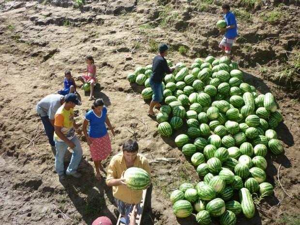 Ribeirinhos plantam melancia na vazante do Rio Madeira (Foto: José Melo/Divulgação)