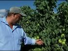Produtores de tomate comemoram a reação no preço pago em MG