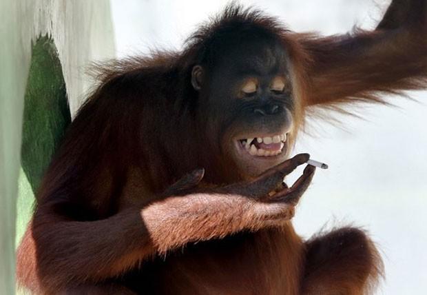 A orangotango Tori aprendeu a fumar ao imitar os visitantes de um zoológico na Indonésia onde mora, que jogavam as bitucas de cigarro dentro do local onde ela ficava. Em julho, os funcionários decidiram afastar a orangotango do público, numa tentativa de acabar com seu vício de cigarro. (Foto: AP)
