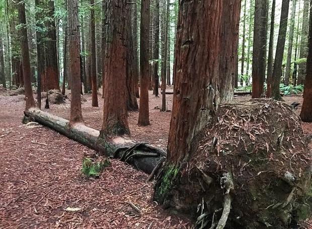 Esta árvore caiu, e em cima do seu tronco, nasceram mais quatro (Foto: Reprodução)