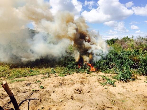 Mais de 800 mil pés de maconha foram erradicados no Sertão de Pernambuco (Foto: Divulgação / Polícia Federal)