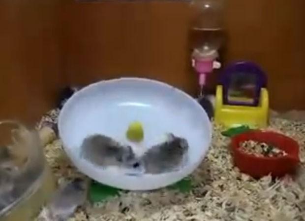 Hamsters correram juntos na rodinha e acabaram se trombando várias vezes (Foto: Reprodução/YouTube/Vinícius Arantes)
