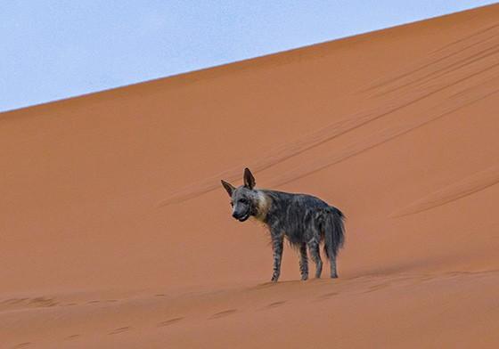 Antes de chegar ao topo de uma duna de Deadvlei, a hiena dá uma parada  (Foto: © Axel Makay Katz)