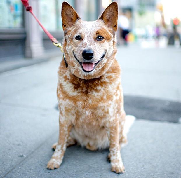 Após acumular mais de 1 milhão de seguidores no Instagram e fazer sucesso no Facebook e Twitter,o blog inspirou um livro. Na foto acima, Spitfire, um cão da raça boiadeiro australiano, flagrado em Nova York (Foto: The Dogist, LLC)