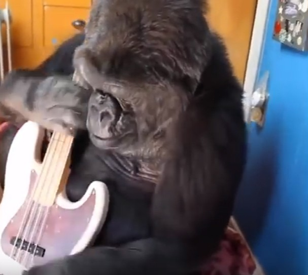 Gorila Koko aprende a tocar baixo com Flea (Foto: Reprodução)