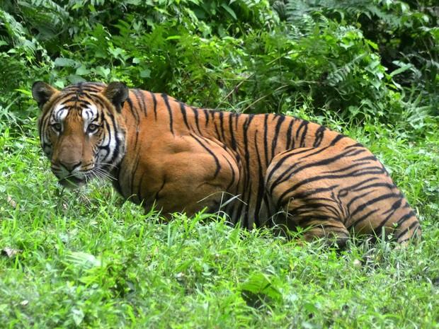 Tigre é visto no Kaziranga National Park, na India, em foto de 21 de dezembro de 2014 (Foto: STR/AFP)