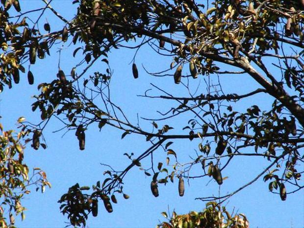 Essa espécie chega a medir 50 metros de altura, com tronco de até dois metros de diâmetro (Foto: Rafael Paranhos Martins)