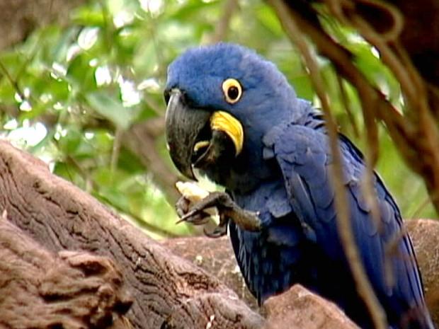 Arara azul Uberaba (Fot Reprodução/TV Integração)