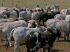 Pecuaristas vacinam gado contra a febre aftosa na fronteira com a Bolívia