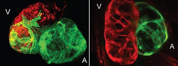 Cardiomiócitos do átrio (em verde) podem se transformar em células do ventrículo (em vermelho) para regenerar o tecido cardíaco lesionado. À esq., o músculo danificado e, ao lado, saudável (Foto: Image by Ruilin Zhang/Nature)