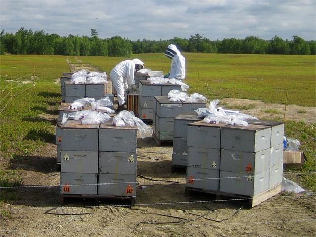 Cientistas coletam pólen de abelhas no nordeste dos EUA (Foto: Divulgação/Michael Andree)