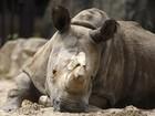 Morre em zoo tcheco um dos últimos cinco rinocerontes brancos do mundo