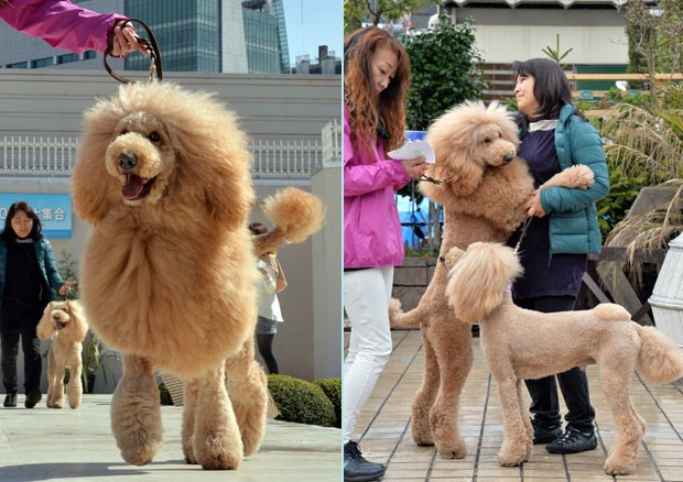 Cachorros tiveram o pelo cortado como o grande felino para celebrar o 100º aniversário do mascote da Mitsukoshi (Foto: Yoshikazu Tsuno/AFP)