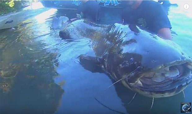 Peixe media mais de 2,4 metros e pesava 113,4 quilos (Foto: Reprodução/YouTube/Catfishing World by Yuri Grisendi)