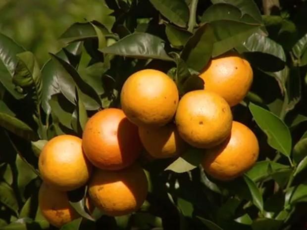 Plantação de laranja na região de Campinas (Foto: Reprodução / EPTV)