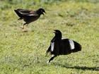 Pássaros parecem trocar 'golpes de artes marciais' em Israel