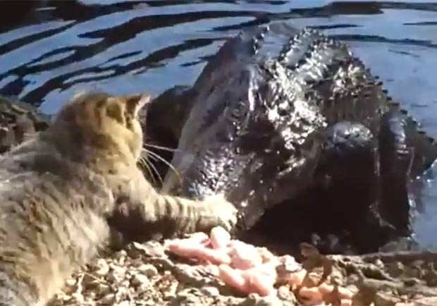 Um vídeo publicado na web em janeiro mostra um gato enfrentando um aligátor (jacaré americano). O felino chega a bater com a pata na cabeça do predador. O gato não recua mesmo depois de o réptil avançar para comer alguns pedaços de carne. (Foto: Reprodução)