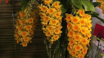 Exposição reúne exemplares de colecionadores e espécies raras de orquídeas em SP