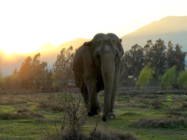 Ramba tem aproximadamente 50 anos e foi resgatada de circo no Chile (Foto: Global Sanctuary for Elephants/Divulgação)