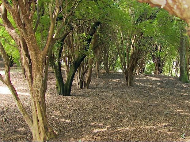 Fazenda possui 180 pés de jabuticabas com mais de 200 anos (Foto: Reprodução EPTV)