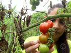 Projeto incentiva cultivo de tomates sem agrotóxicos em Pinheiral, RJ