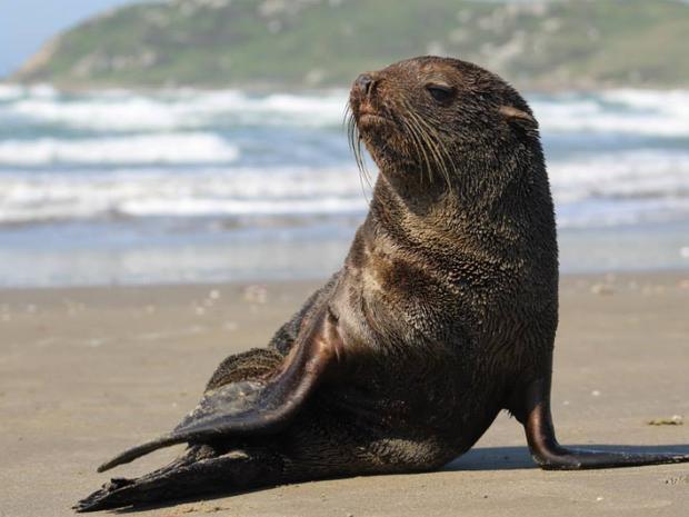 Filhote de lobo marinho foi flagrado descansando no domingo na praia de Itapirubá, em SC (Foto: Julio Cesar Vicente/AGTA)