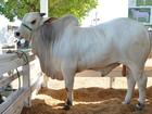 Adepará quer vacinar 43 mil animais contra aftosa em Faro e Terra Santa