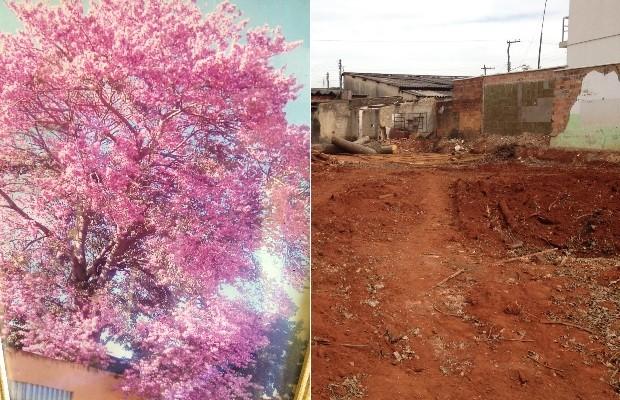 Montagem Aposentada faz empréstimo de R$ 10 mil para salvar árvore em Goianira Goiás (Foto: Sílvio Túlio/G1)