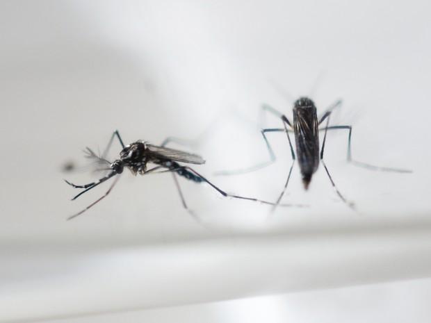 Aedes aegypti, que transmite a zika  (Foto: AFP)