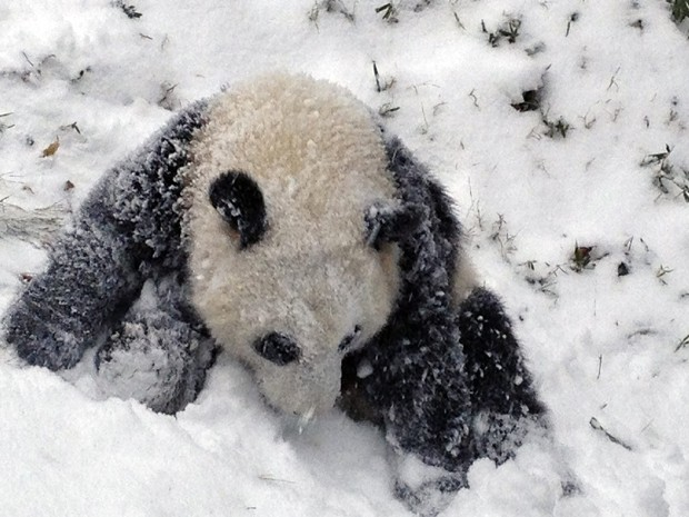 Bao Bao brinca pela primeira vez na neve no Smithsonian's National Zoo, em Washington, na terça (6) (Foto: Reuters/Devin Murphy/Smithsonian's National Zoo/Handout via Reuters)