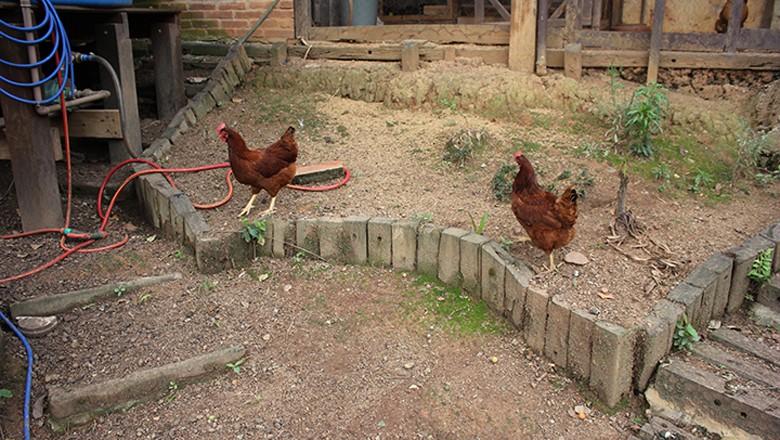 galinhas-aves-alex-sao-paulo-cidades-verdes (Foto: Lucas Alencar/Ed. Globo)