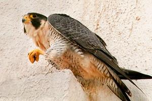 Falcão-peregrino, um viajante (Arquivo/TG)