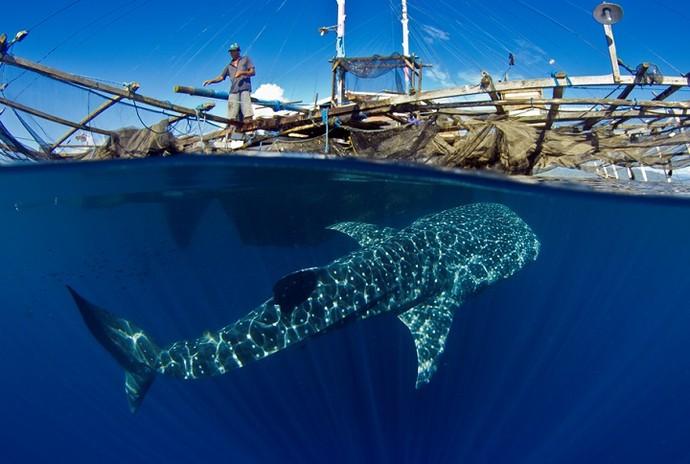 Foto premiada em Londres: tubarão baleia ao lado de pescador na Indonésia (Foto: João Paulo Krajewski)
