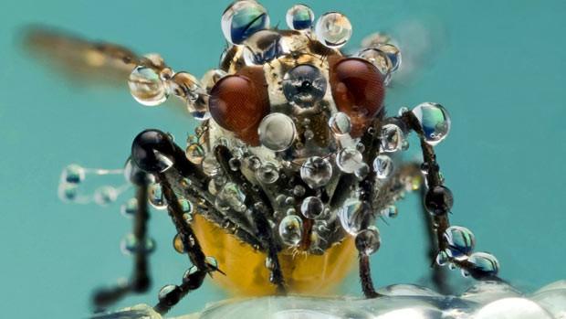 Fotógrafo captura gotas de orvalho cobrindo mosca (Foto: Nicolas Reusens/Caters )