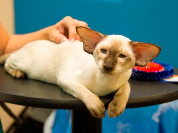 Verdadeiro gato siamês será uma das raças expostas (Foto: Mariana Pereira)