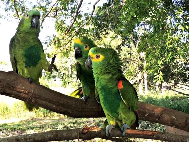 Entre os animais recapturados estão estão 87 papagaios-verdadeiros (Foto: César Soares/Ibama-MT)