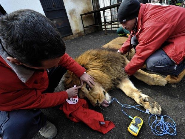 Leão Tarzan passou por cuidados veterinários antes de ser solto em santuário (Foto: Reuters/Mihai Vasile/Four Paws/Divulgação)