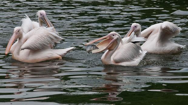 Pelicano devora peixe em zoológico na Índia. (Foto: Rahul Singh/AFP)