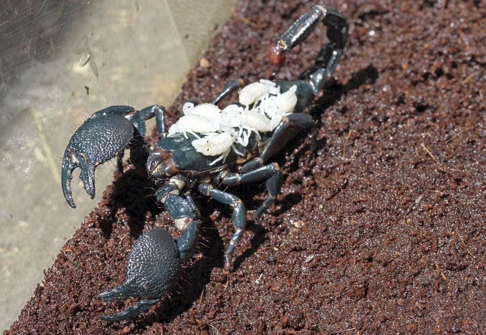 Lisa, um exemplar fêmea de escorpião imperador, carrega nas costas seis filhotes recém-nascidos em parque dos Estados Unidos. (Foto: Nancy Chan/Six Flags Discovery Kingdom/Handout/Reuters)