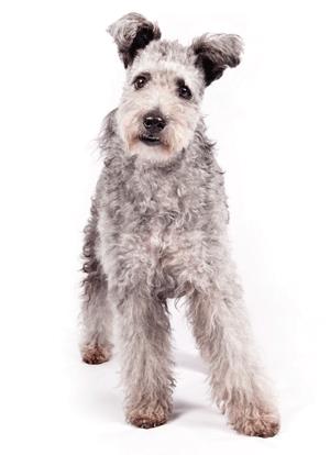 Pumi em foto divulgada pelo American Kennel Club. (Foto: Thomas Pitera/The American Kennel Club via AP)