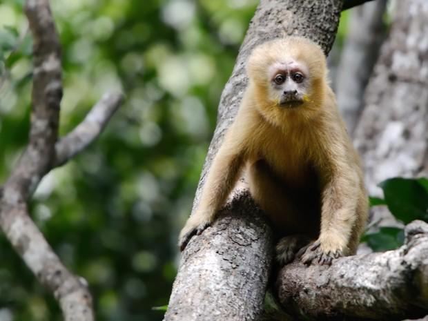 Macaco-prego-dourado_terradagente (Foto: Claudia Komesu/ Vc no TG)
